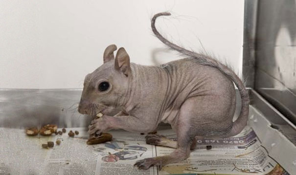 hairless-bald-animals-31