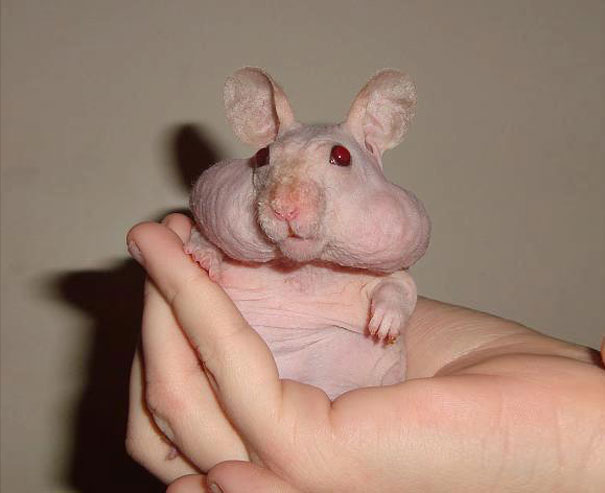 hairless-bald-animals-33