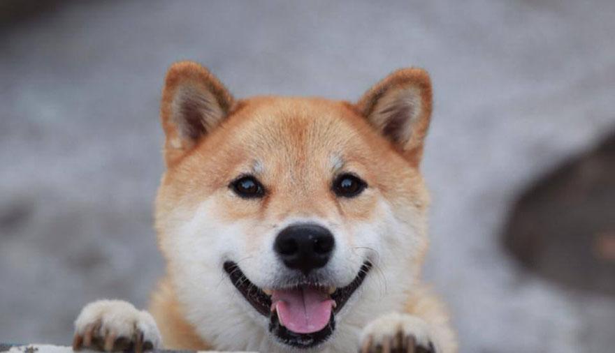 happy-dog-maru-shiba-inu-15