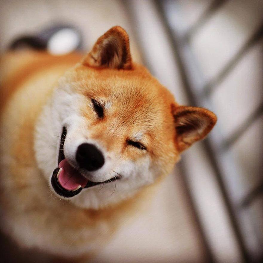 happy-dog-maru-shiba-inu-23