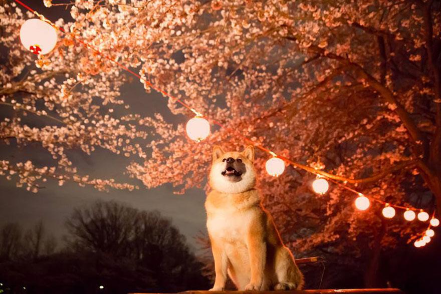 happy-dog-maru-shiba-inu-31