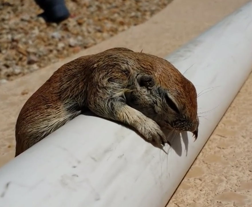 squirrel-cpr-pool-man-rick-gruber-3