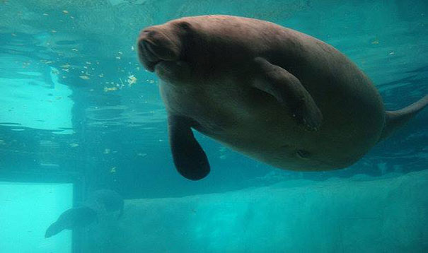 66-year-old-manatee-snooty-13