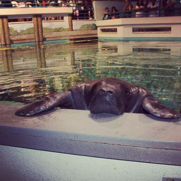 66-year-old-manatee-snooty-6