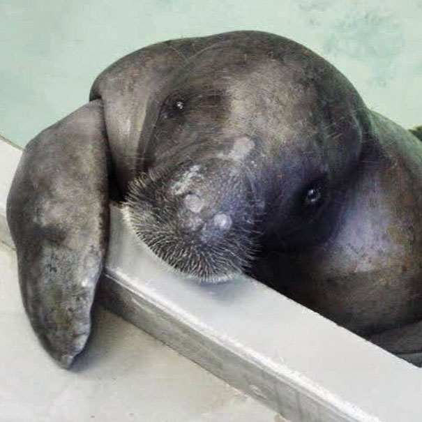 66-year-old-manatee-snooty-9