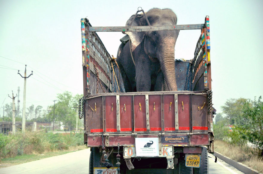 crying-elephant-raju-rescued-chained-50-years-3