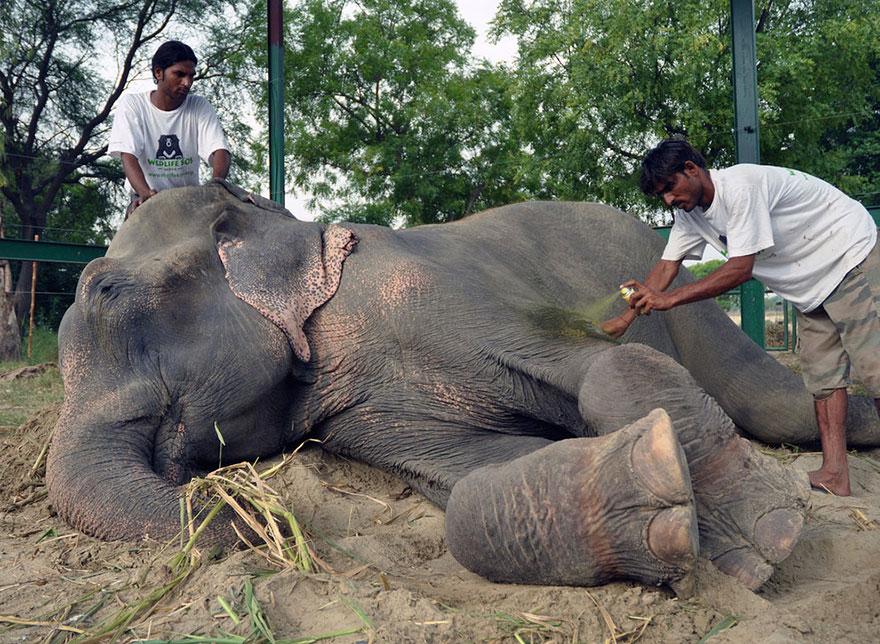цриинг-слон-рају-спасена-ланчани-50-година-6