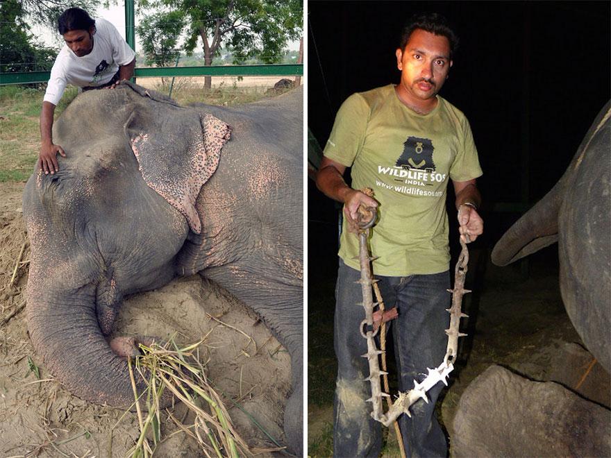 цриинг-слон-рају-спасена-ланчани-50-година-8