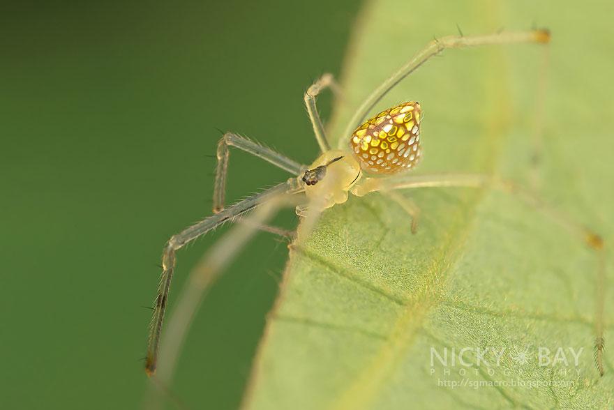 mirror-spider-thwaitesia-argentiopunctata-3