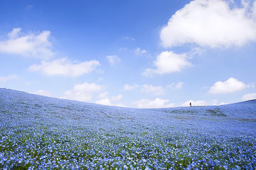 Bunga, Nemophila,Hitachi Seaside Park, Jepang, Wisata asia, backpacker, taman bunga, bunga indah, hamparan bunga, wisata jepang, backpacker ke jepang,