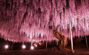 This 144-Year-Old Wisteria In Japan Looks Like A Pink Sky
