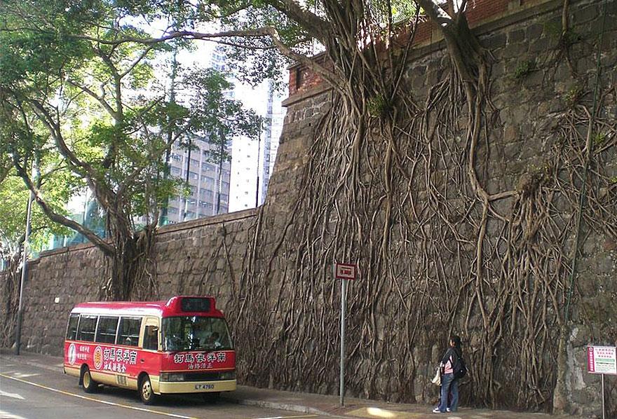 Foto Akar Pohon Menembus Dinding Beton 6