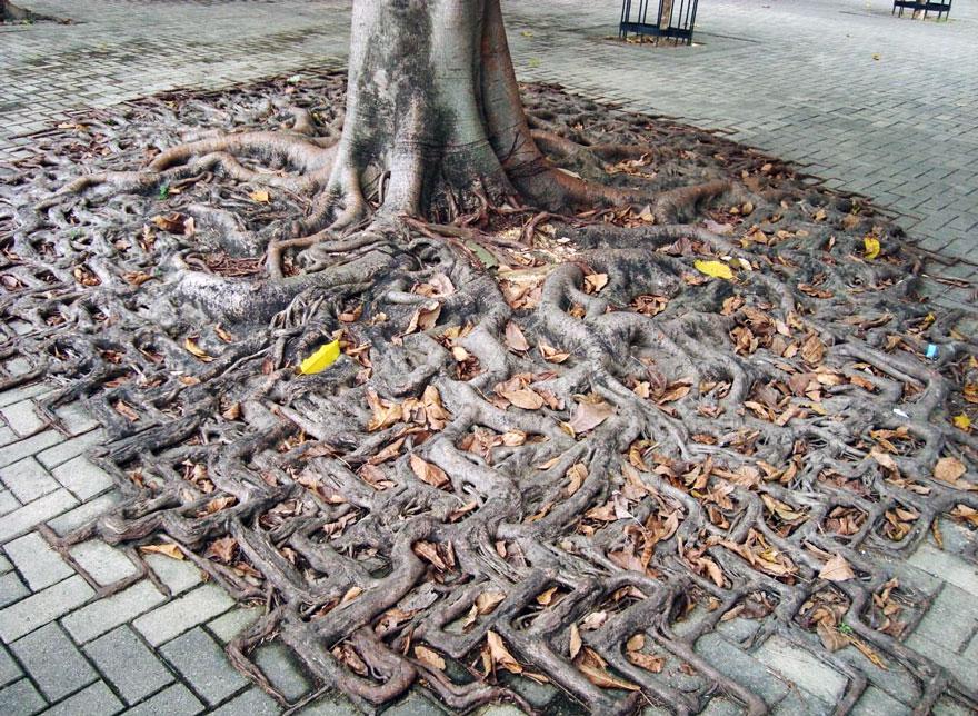 Foto Akar Pohon Menembus Dinding Beton 12