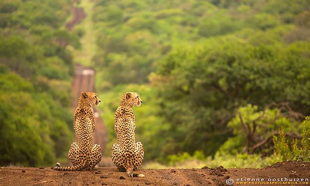animais gêmeos-de-dois-similar-sósias-203