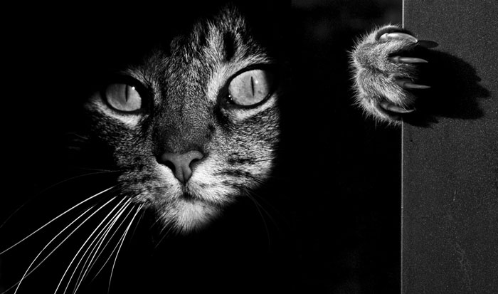Share Classy Black And White Pictures Of Cats