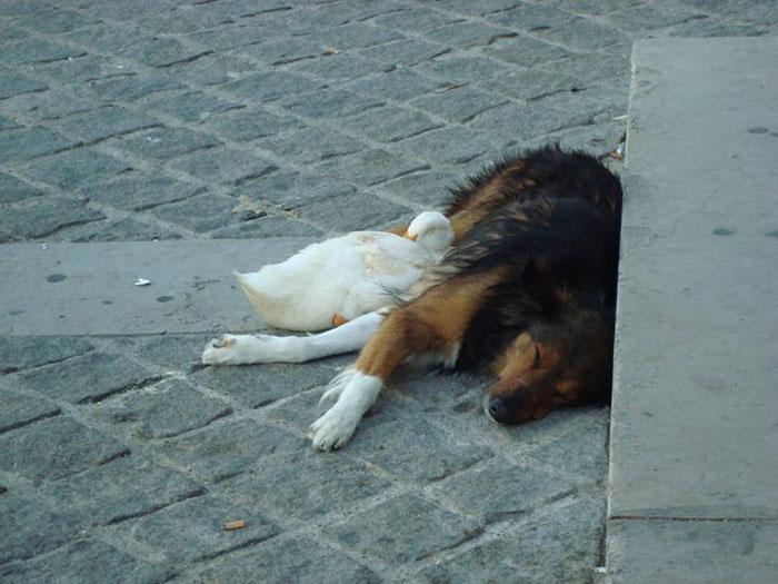 dog-and-duck-friendship-paris-2