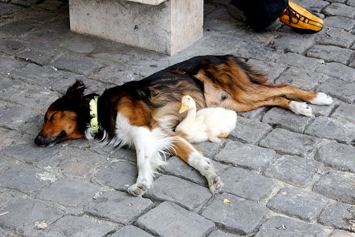 dog-and-duck-friendship-paris-3