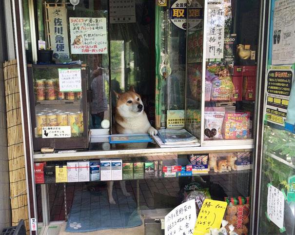 dog-abre-counter-window-shiba-inu-doge-1