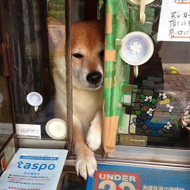 dog-abre-counter-window-shiba-inu-doge-7