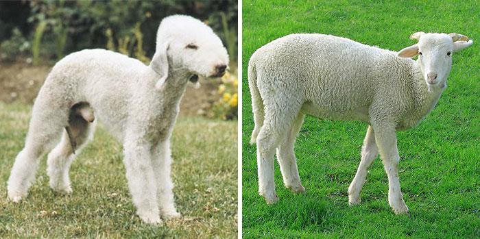 Bedlington Terrier Looks Like A Sheep