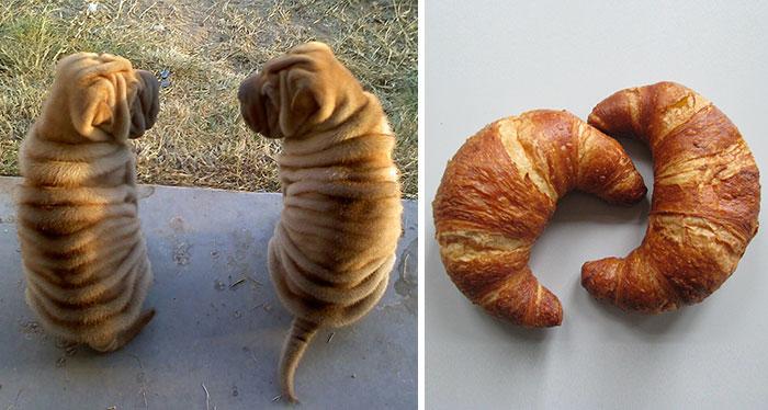 Shar Pei Puppies Look Like Croissants