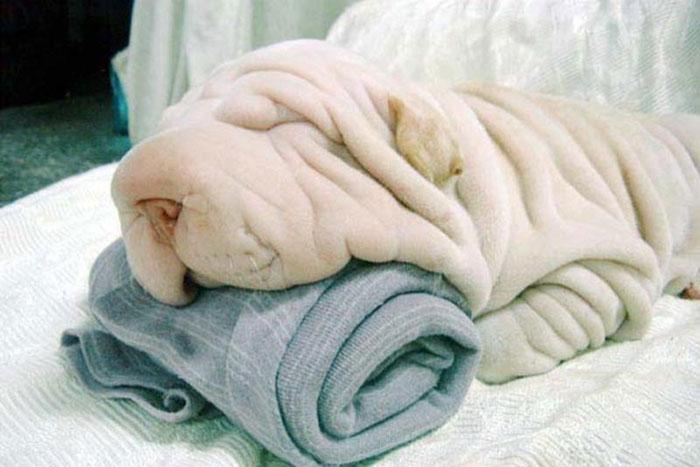 Shar Pei Looks Like A Towel