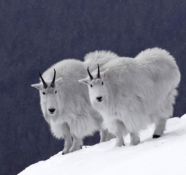 animais gêmeos-de-dois-similar-sósias-100