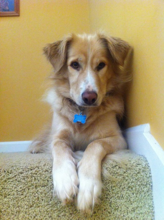 Golden Retriever/border Collie-gold, Could Also Be Black
