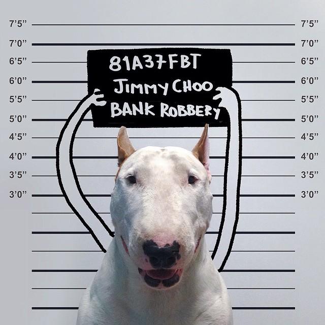 Jimmy-choo-bull-terrier-ábrákat-rafael-mantesso-4