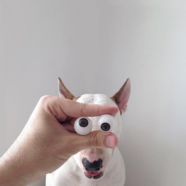 Jimmy-choo-bull-terrier-ábrákat-rafael-mantesso-9