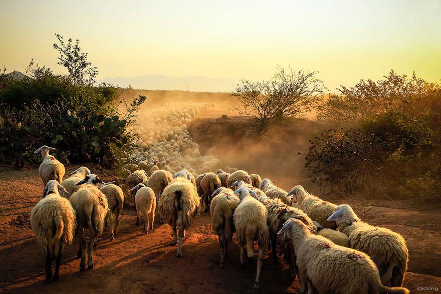 rebaños de ovejas-around-the-world-18