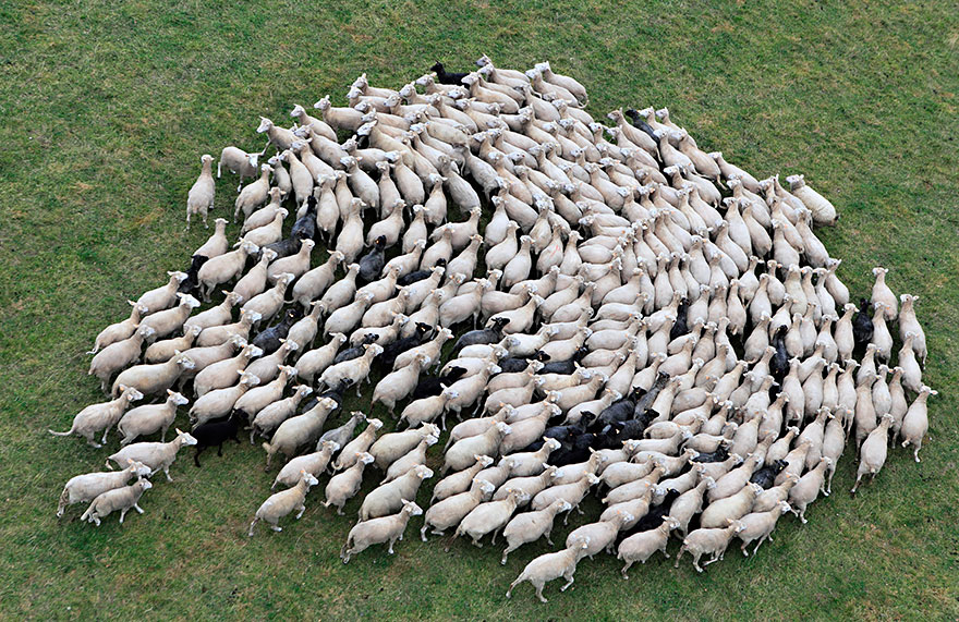rebaños de ovejas-around-the-world-25