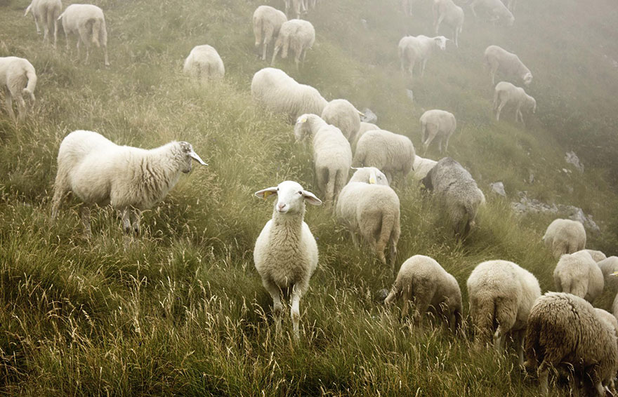 sheep-herds-around-the-world-52