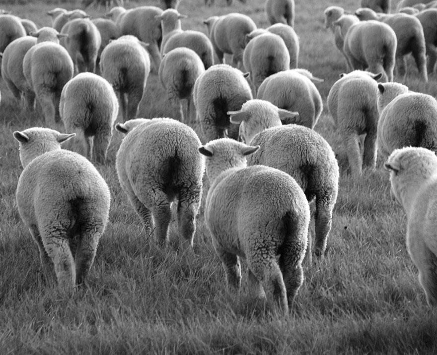 rebaños de ovejas-around-the-world-53