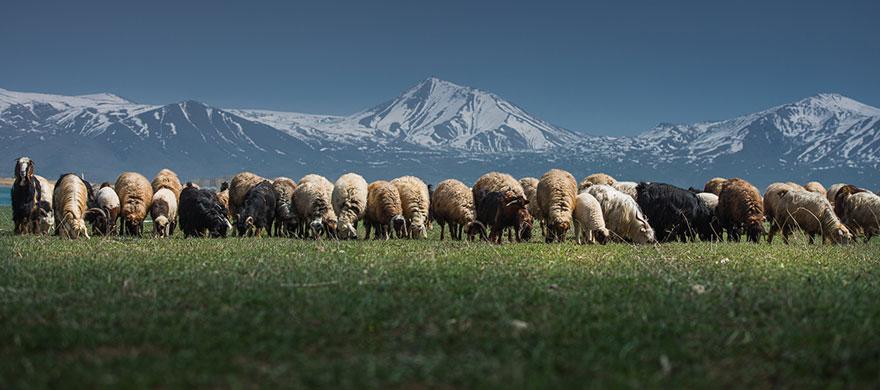 rebaños de ovejas-around-the-world-56