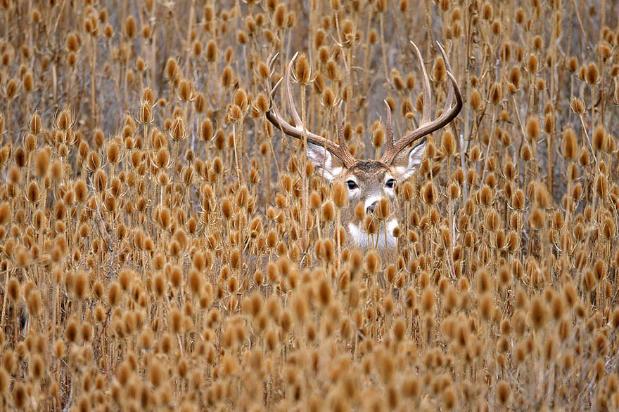 Whitetail Deer Hiding In Teasel