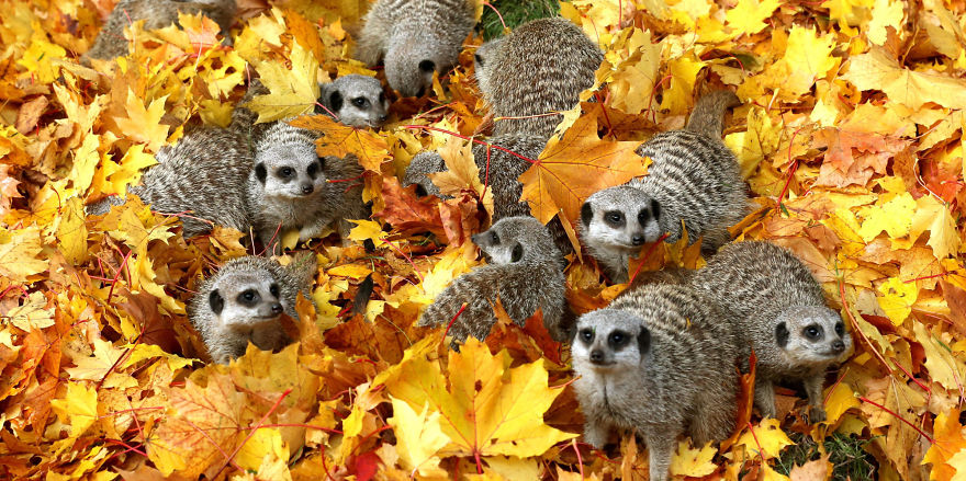 Autumn Meerkats