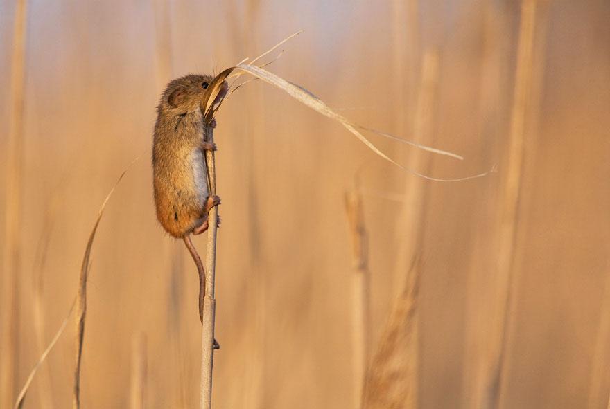 Mouse Climbing Grass