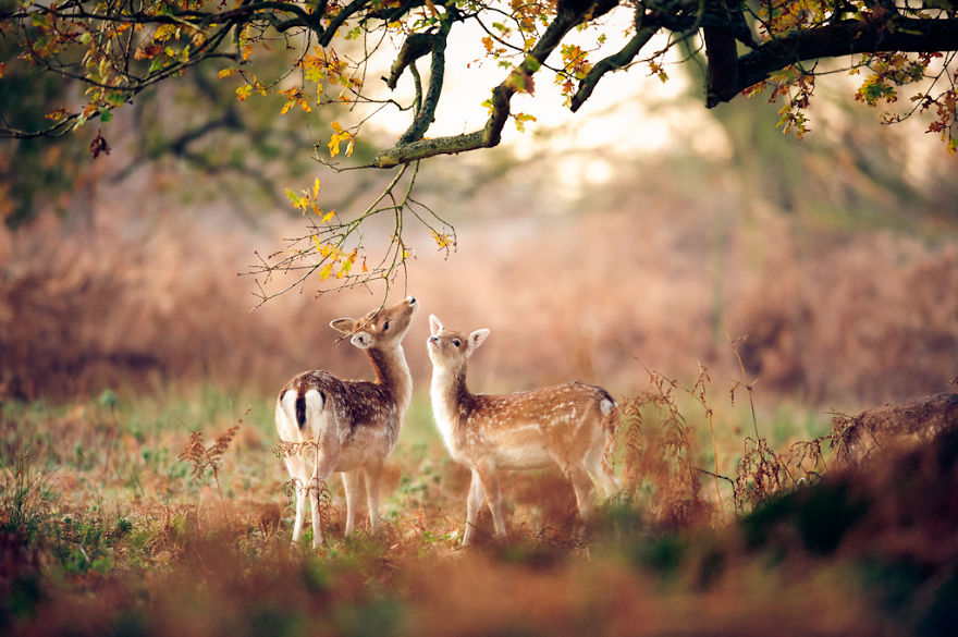 Deer And Its Fawn