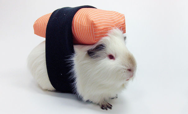 Sushi Guinée Pig