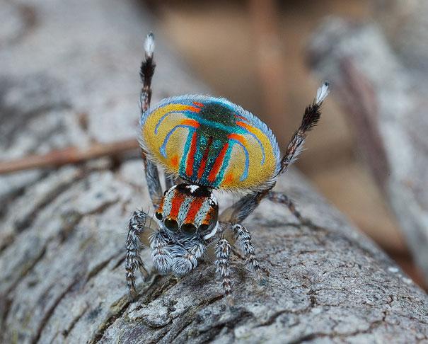 peacock-spider-jurgen-otto-1