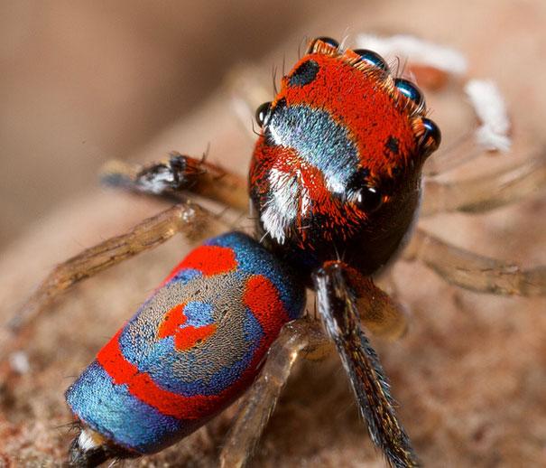 peacock-spider-jurgen-otto-11