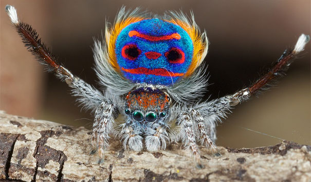 Frighteningly Beautiful Shots of Australian Peacock Spider