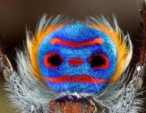 peacock-spider-jurgen-otto-13