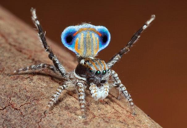 peacock-spider-jurgen-otto-14