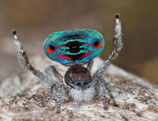 peacock-spider-jurgen-otto-15