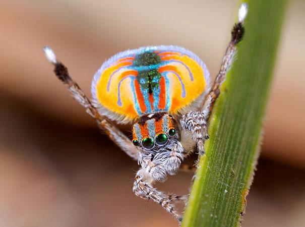 peacock-spider-jurgen-otto-16