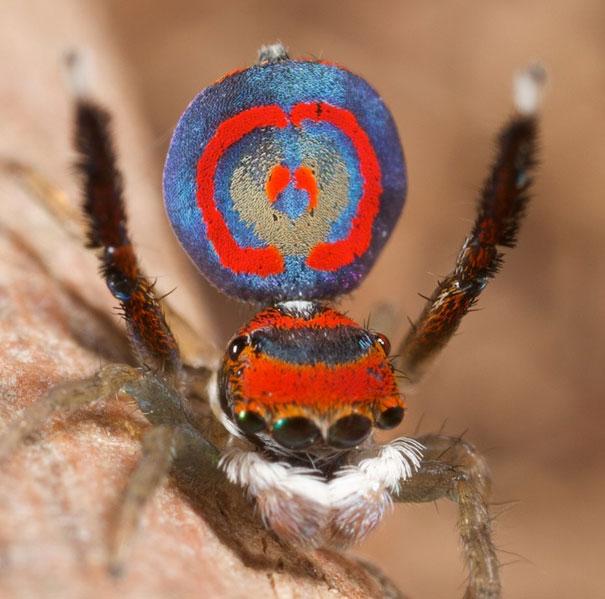peacock-spider-jurgen-otto-17
