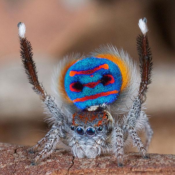 peacock-spider-jurgen-otto-4