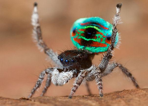 peacock-spider-jurgen-otto-8